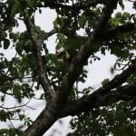 Parc du Corcovado - toucan tocard