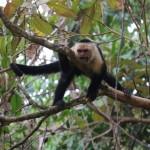 Parc du Corcovado - singe capucin en colère