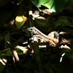 Parc du Corcovado - lézard dans un rayon de soleil