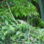 Iguane - Parc de Tortuguero