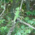 Basilic vert - Parc de Tortuguero