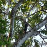 Singe hurleur - Parc de Tortuguero