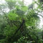 Parc de Santa Elena - fougère arborescente