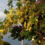 Quepos - Savonnier en fleur