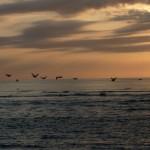 Quepos - Vol de pélicans gris