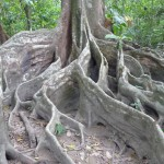 Parc du Corcovado - racines de ficus