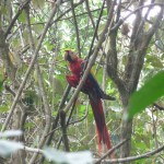 Parc du Corcovado - Ara rouge