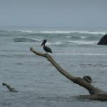 Parc du Corcovado - Pélican gris