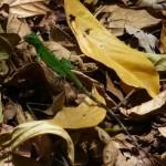 Parc du Corcovado - Bébé Iguane vert