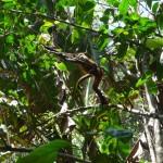 Parc du Corcovado - Singe Atelle