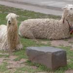 Cuzco - alpagas
