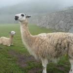 Machu Picchu - lamas