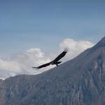 Canyon del Colca - condor juvénile