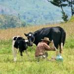 Canyon del Colca - traite de vache