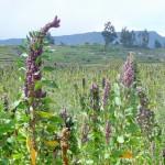 Canyon del Colca - champs de quinoa