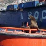 Valparaiso - Éléphant de mer