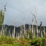 Carretera Austral - Forêt brûlée par une éruption
