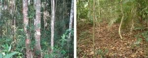 A gauche la forêt secondaire et à droite la forêt primaire
