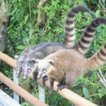 Chutes d'Iguazu - coatis