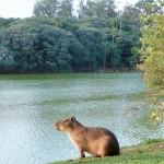 Campinas - Capybara dans le parc