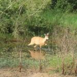 Pantanal - Cerf des marais