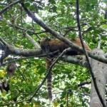 Pantanal - Coatis