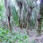 Pantanal - Forêt