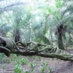 Pantanal - Figuier étrangleur