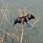 Pantanal - Anhinga d'Amérique
