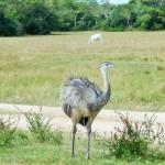 Pantanal - Emeu