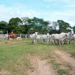 Pantanal - Elevage bovin