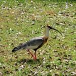 Pantanal - Ibis mandore