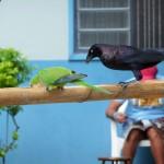Pantanal - Perruche moine