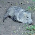 Pantanal - Cochon domestique