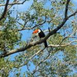 Pantanal - Toucan toco