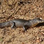 Pantanal - Caïman