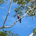 Pantanal - Martin pêcheur d'Amazonie
