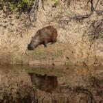 Pantanal - Capybara