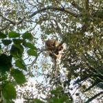 Pantanal - Singe hurleur