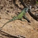 Pantanal - Iguane vert