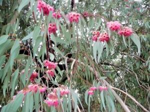 Pretoria - Fleurs d'Eucalyptus