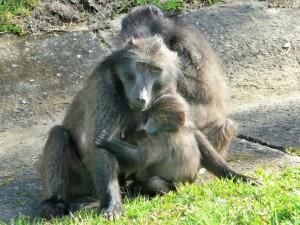 Famille de babouins