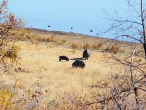 Pilanesberg - Hippopotames