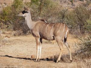 Pilanesberg - Grand Koudou