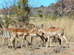 Pilanesberg - Impalas femelles