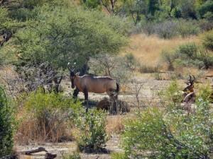 Pilanesberg - Bubales rouges