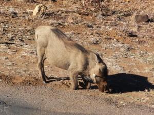 Pilanesberg - Phacochère