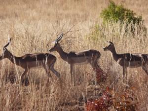 Pilanesberg - Impalas