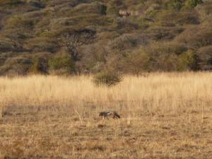 Pilanesberg - Chacal