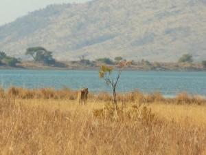 Pilanesberg - Chasse ratée pour la lionne